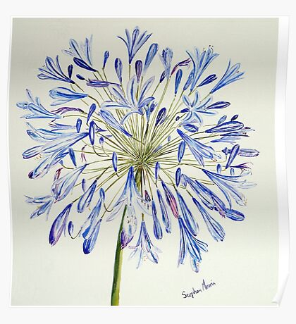 Isles of Scilly 'Agapanthus' Poster
