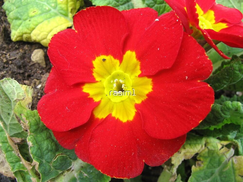 A Red Primrose by rasim1