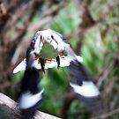 Kookaburra Divebomb by Blaze66