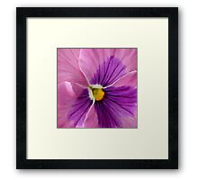 Pink Purple Pansy  Framed Print