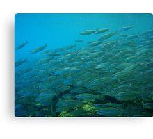 Galapagos Fish (Ecuador) Canvas Print