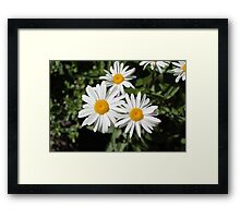 Pretty pure white daisy flowers. Floral nature photography.  Framed Print