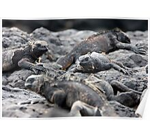 Iguanas on the Lava (Galapagos) Poster