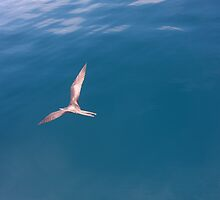 Gliding Over the Blue (Galapagos) by BGpix