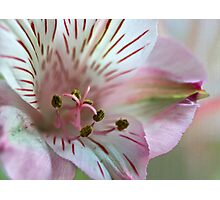 Lily the Pink Photographic Print