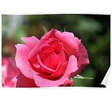 Lovely summer pink rose flower. Poster