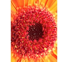 Red & Yellow Gerbera Photographic Print