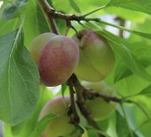 Plums by Harald Ole Hansen