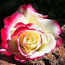 Rose On the Rocks by Heather Friedman