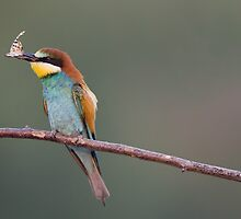 European Bee Eater by BogdanBoev