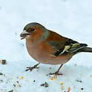 Test - Chaffinch by Robert Abraham