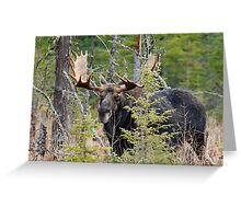 Bull moose - Algonquin Park, Ontario Greeting Card
