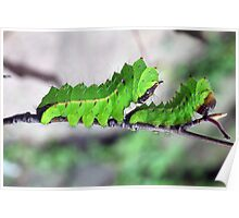 Two Tussore Silkmoth caterpillars Poster