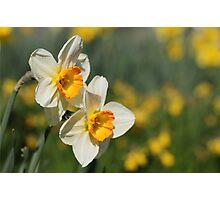 Poet's Daffodils Photographic Print