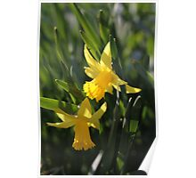 Daffodils in the sun and grass Poster