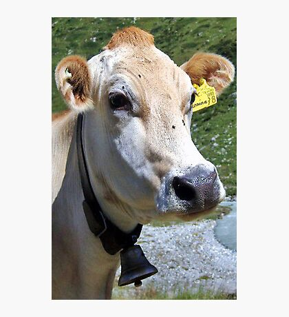 Look At Me I Am A Pretty Cow Photographic Print