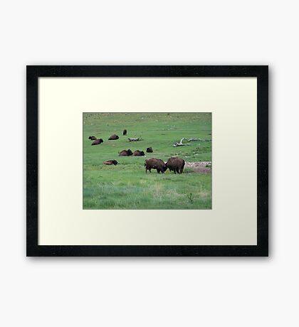 Buffalo Relaxing in Custer State Park Framed Print