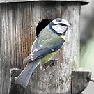 Blue Tit by Charles  Staig