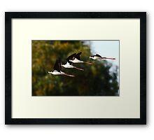 013010 Black Necked Stilts Framed Print