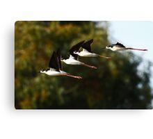 013010 Black Necked Stilts Canvas Print