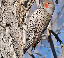 Northern Flicker by Eivor Kuchta