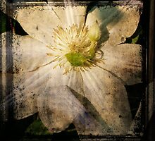 white clematis by kellym