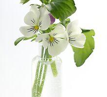 white pansies by OldaSimek