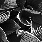 Light and shade on Hostas by Andy Duffus