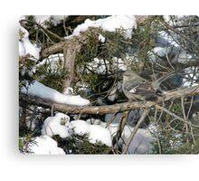 Northern mockingbird - Ottawa, Ontario Metal Print
