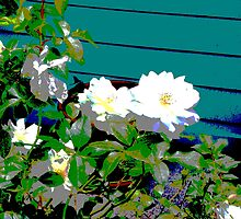 white roses by Scott K Wimer