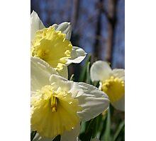 Morning Daffodils 2 Photographic Print