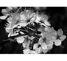 Cherry Blossoms in Gray Photographic Print