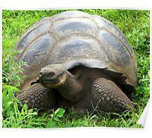 Galapagos Giant Tortoise (Ecuador) Poster