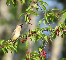 Cedar Wax Wing feeding on Cherries by pshootermike