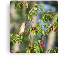 Cedar Wax Wing feeding on Cherries Canvas Print