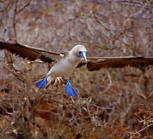 Blue Booby Landing (Galapagos) by BGpix