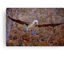 Blue Booby Landing (Galapagos) Canvas Print