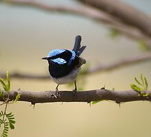 Superb Fairy Wren  by Craig Stronner