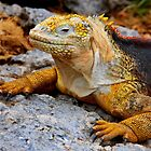 Coloured Iguana (Galapagos) by BGpix