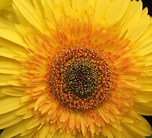 Gerbera (4858) by ScenerybyDesign