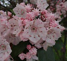 Mountain Laurel (Kalmia latifolia) by vigor