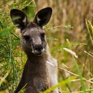 Suprised Kangaroo. by Keith Irving