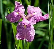 purple iris by Skye Hohmann