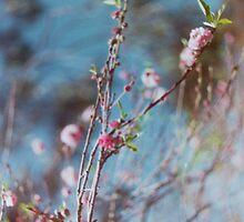cherry blossoms- UWA by JOSlyn