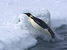 Emperor Penguin Launch by Steve Bulford