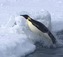 Emperor Penguin Launch by Steve Bulford