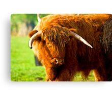 Highland Cattle #3 Canvas Print