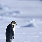 Emperor Penguin and Chick - Snow Hill Island by Steve Bulford