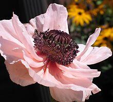 Light Pink Poppy by art2plunder