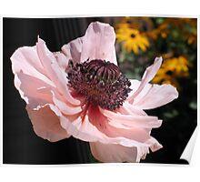 Light Pink Poppy Poster